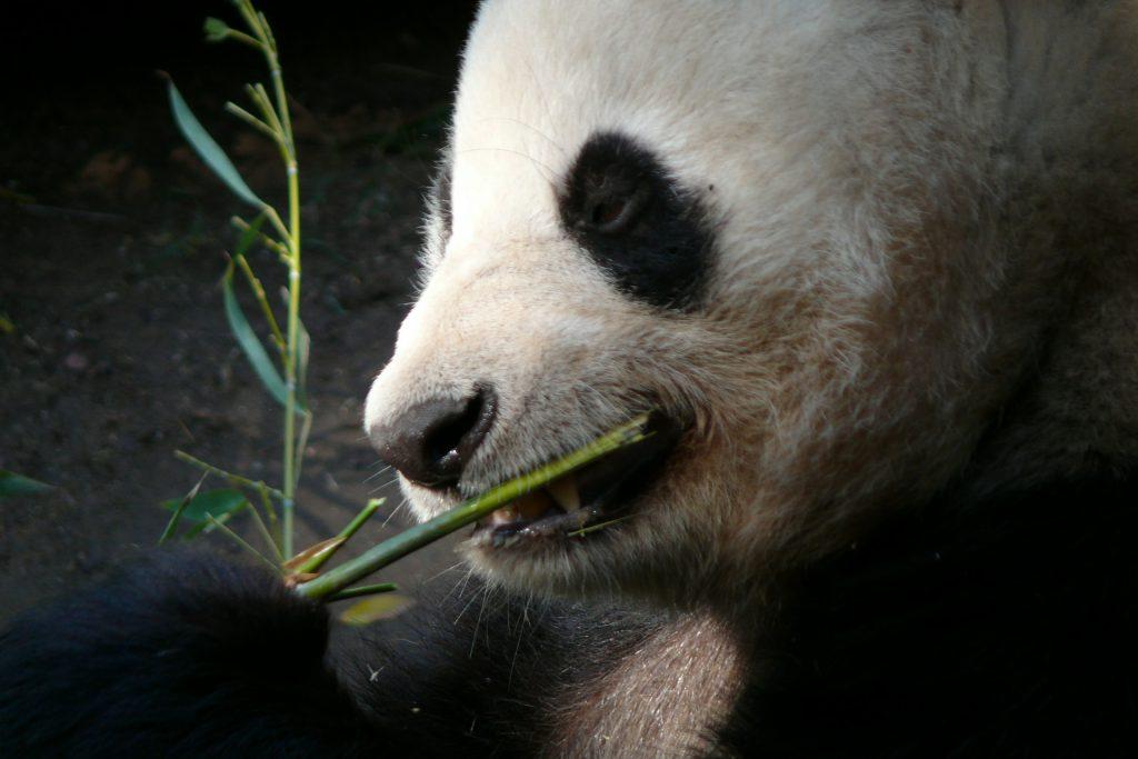 Zoo San Diego, Panda, US Westküste, Roadtrip, San Diego Hafen